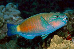 Snorkel maui hawaiian reef fish quiz for Hawaii reef fish